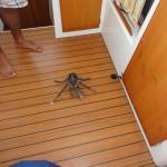 Crabe de cocotier